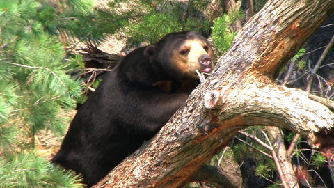 Sun Bear Relaxing in Tree Stock Video Footage