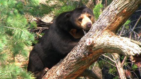 Sun Bear Relaxing in Tree Stock Video Footage