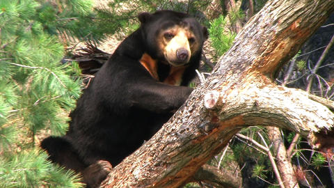 Sun Bear Relaxing in Tree Footage