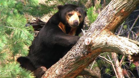 Sun Bear Relaxing in Tree Footage
