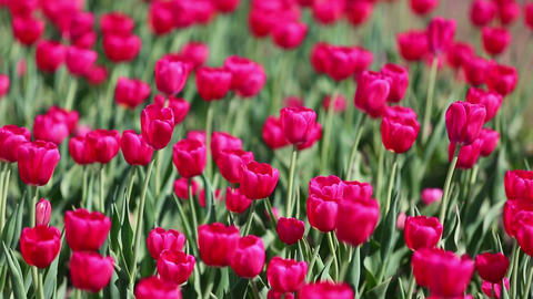 field of red tulips blooming - shallow depth of fi Live Action