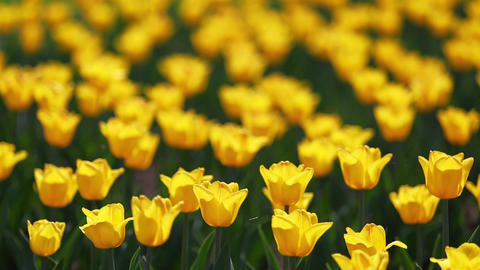 field of yellow tulips blooming - shallow depth of Footage
