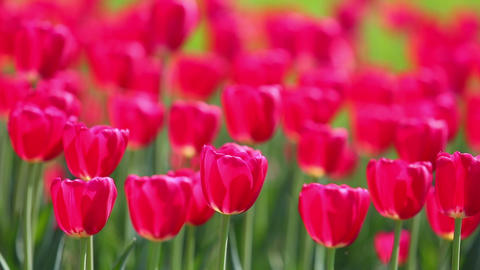 field of red tulips blooming - shallow depth of fi Footage