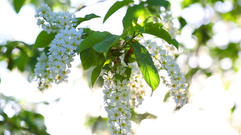 sun shines through the flowers of bird cherry tree Footage