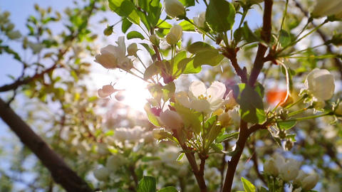 sun shining through blossom apple tree branches Footage