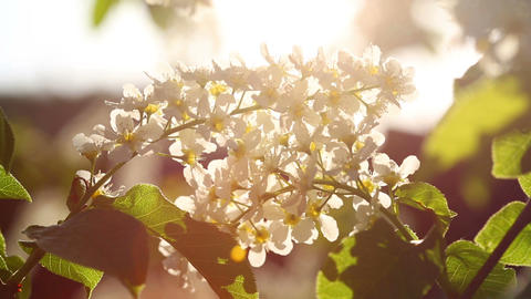 sun shines through the flowers of bird cherry tree Footage
