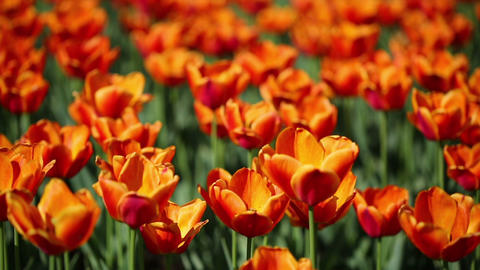 field of orange tulips blooming - shallow depth of Live Action