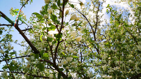 sun shining through blossom apple tree branches -  Footage