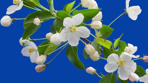 Apple tree flowers 2 Footage