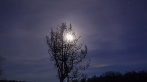 Larch branches in the moonlight. Time Lapse. 1280x Footage