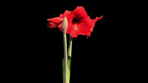 Growth of red hippeastrum flower buds ALPHA matte Live Action