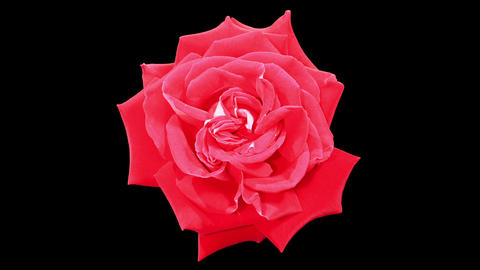 Blooming red roses flower buds ALPHA matte, FULL H Footage
