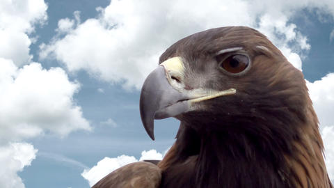 Eagle Head Against the Sky Footage