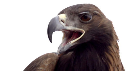 Golden Eagle on White Background Footage