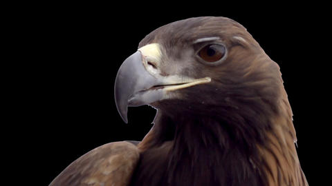 Golden Eagle on the Alpha Channel Footage