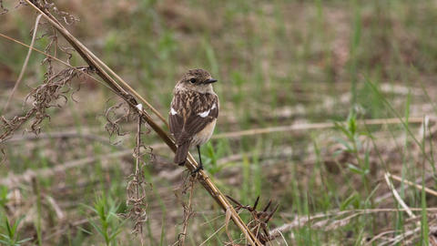 Stonechat 5 Live Action