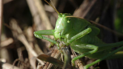 Green grasshopper Footage