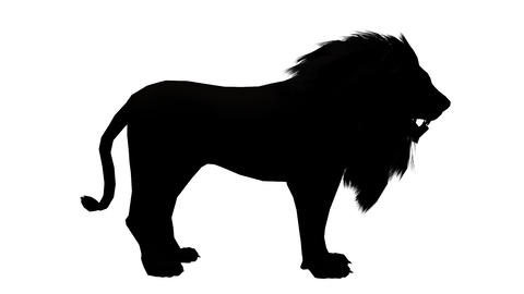 Lion looked around,Endangered wild animal wildlife sketch silhouette Live Action