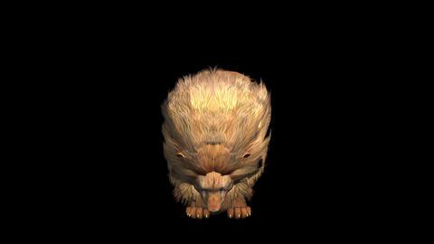 Lion bite eating,Endangered wild animal wildlife Live Action