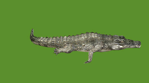 Crocodile swaying body swimming,Dangerous animals Live Action