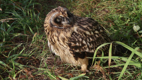 Short eared Owl chick Footage