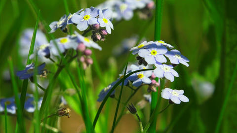 Forget-me-nots. Blue flowers. 4K Footage