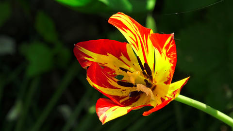Red and yellow Tulip. 4K Footage