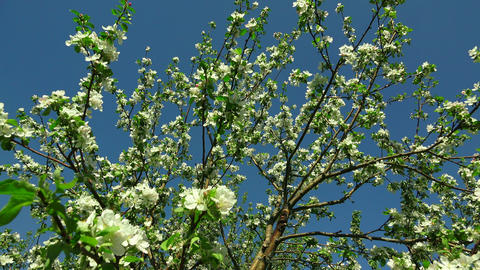 Apple blossom. 4K Footage