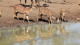 Nyala antelopes drinking Footage