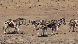 Plains zebras interacting Footage