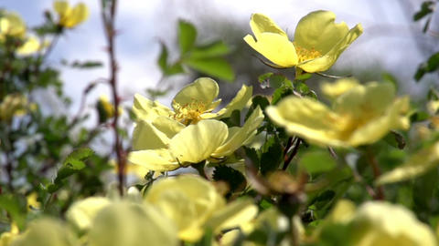 Flowering Shrub Rose Hips HD stock footage