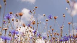 Flowers cornflowers on a summer meadow Footage