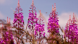 fireweed and bees Footage