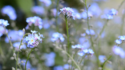 Forget Me Not Flower stock footage