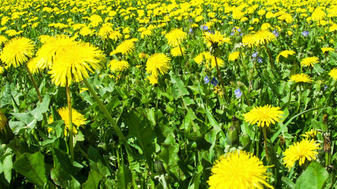 Dandelion field pan Footage