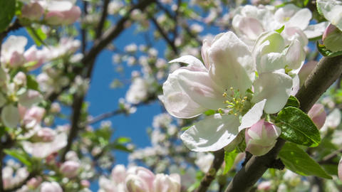Blooming apple tree 2 Footage