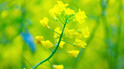 Field of rapeseed plant Footage