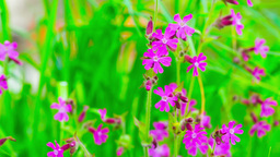 Small Spring purple Flowers and Green Grass Flicke Footage