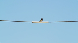 Swallow Bird Sitting On A Wire stock footage