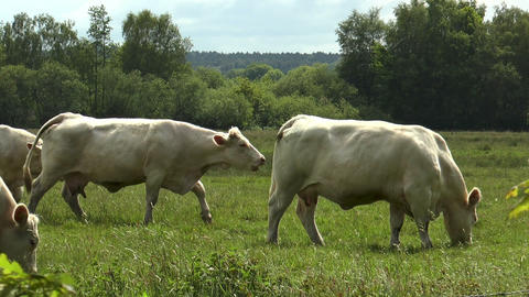 cows walking and grazing in green pasture Footage
