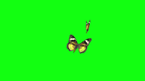 yellow couple butterfly greenscreen Animation