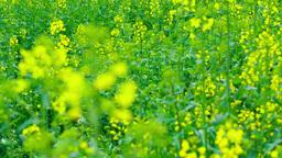 rapeseed field Footage
