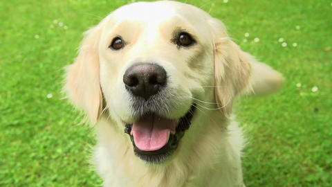Slow Motion Sequence Of Happy Golden Retriever Dog Footage