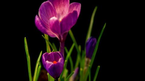 Flowers, purple crocuses bloom. Spring awakening Footage