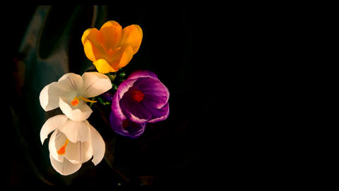 Flowers bouquet , purple, white Yellow crocuses bloom. Time lapse Footage