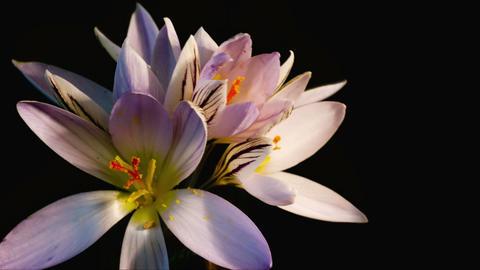 snowdrops blossom. crocus Footage