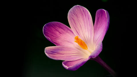Flowers, purple crocuses bloom Footage