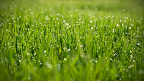 Grass With Dew Bokeh Background Footage