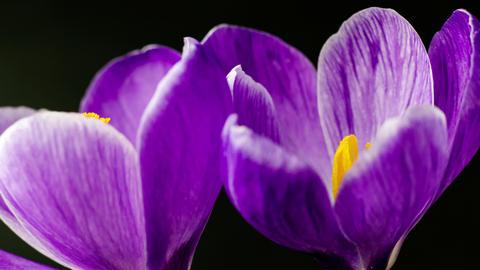 Flowers, purple crocuses bloom. Spring awakening. Format Cinema 4K Footage