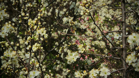 Blackthorn flowers in spring, background Live Action